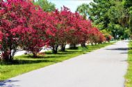 Dynamite Red Crape Myrtle 5 Seeds - The Longest Blooming Tree/Intensive Red